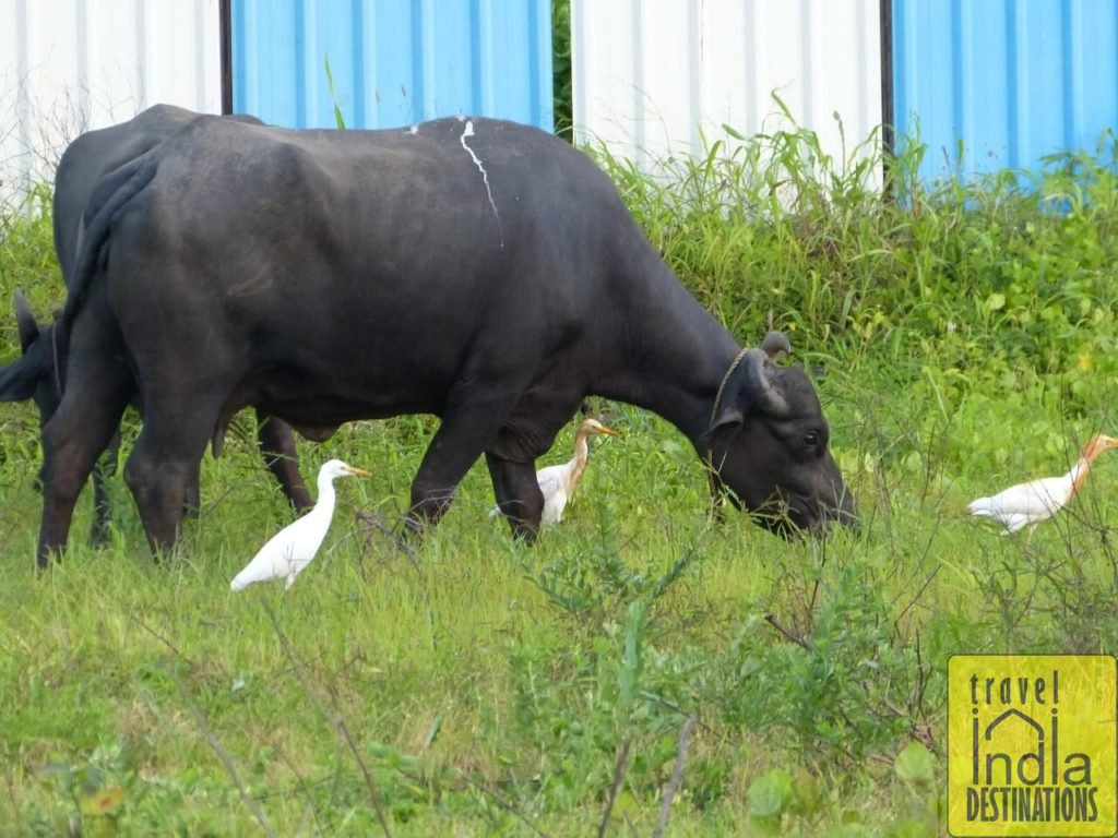 Cattle Egrets with Cattle