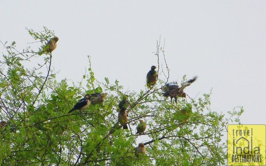 Pied Myna with Juveniles