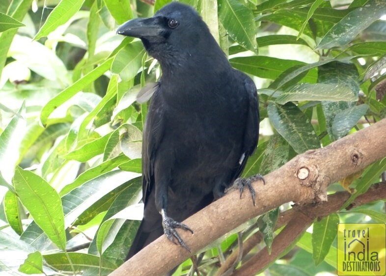 Indian Jungle Crow