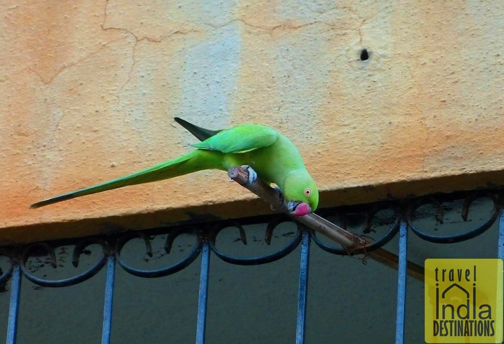 Can We Keep Parrots At Home In India