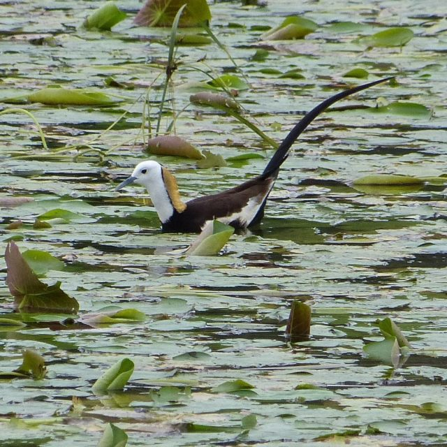 The Pheasanttailed Jacana is a mystery bird It is thehellip
