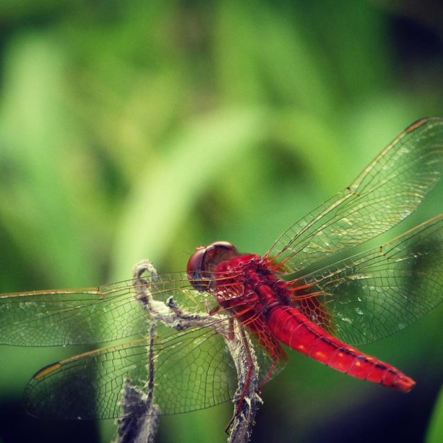 Scarlet Dragonfly naturephotography naturelover naturel natureporn nature dragonfly red photographyhellip
