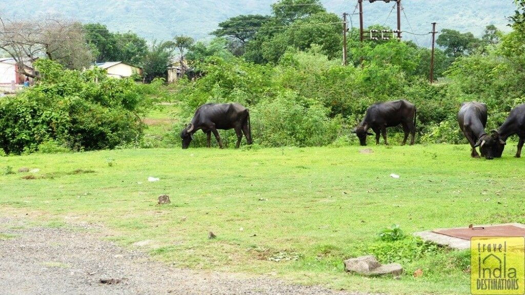 Buffaloes Grazing Happily