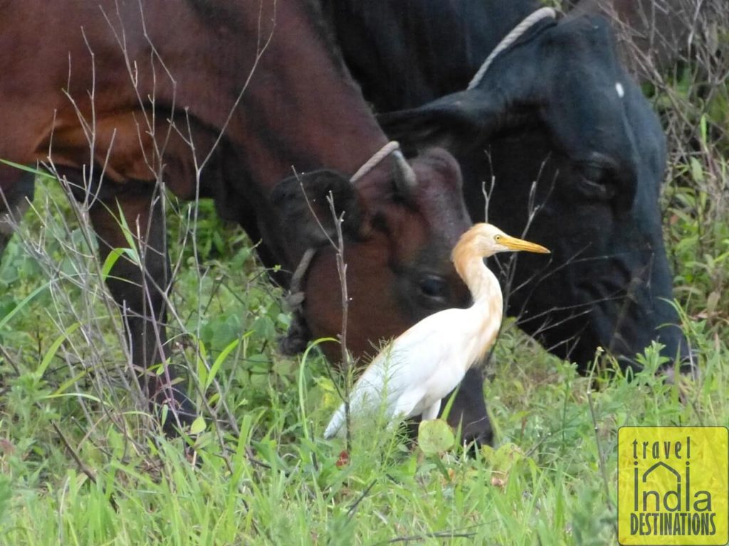 Cattle Egret with Cattles