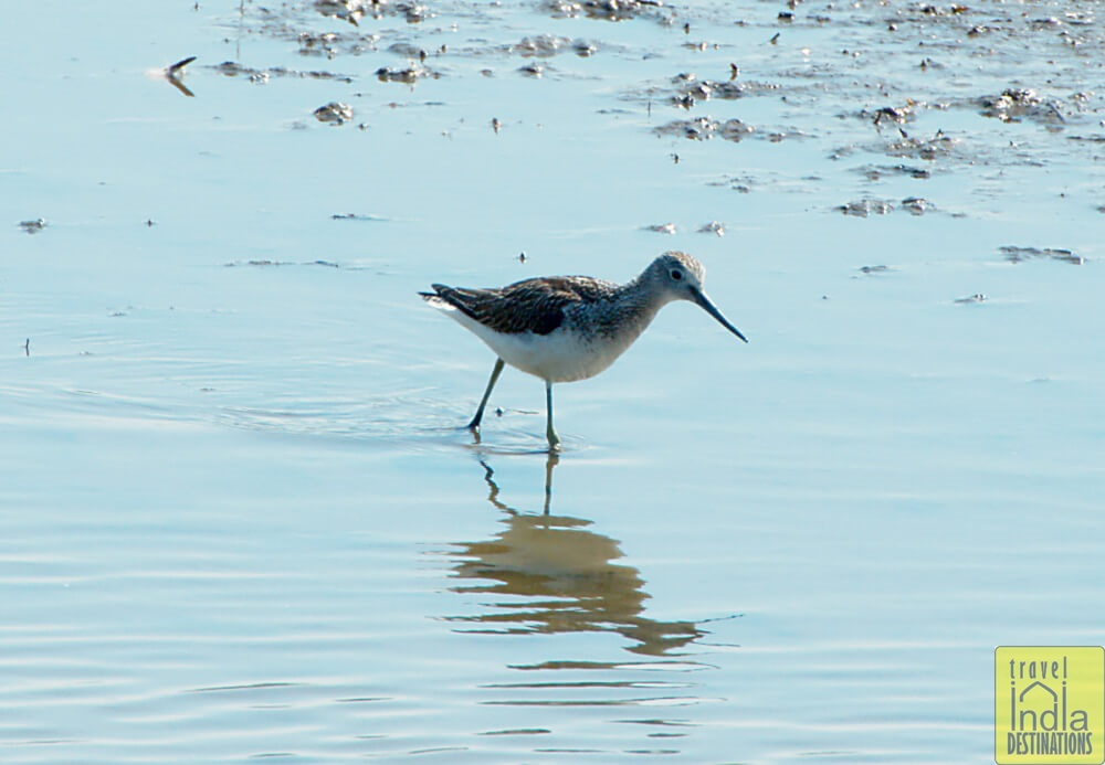 Common Greenshank in Vasai
