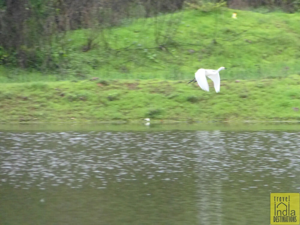 Egret Flying in Vasai