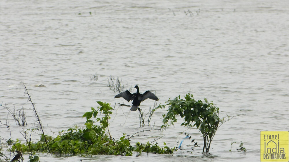 Little Cormorant Vasai
