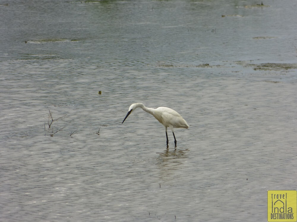 Little Egret Vasai
