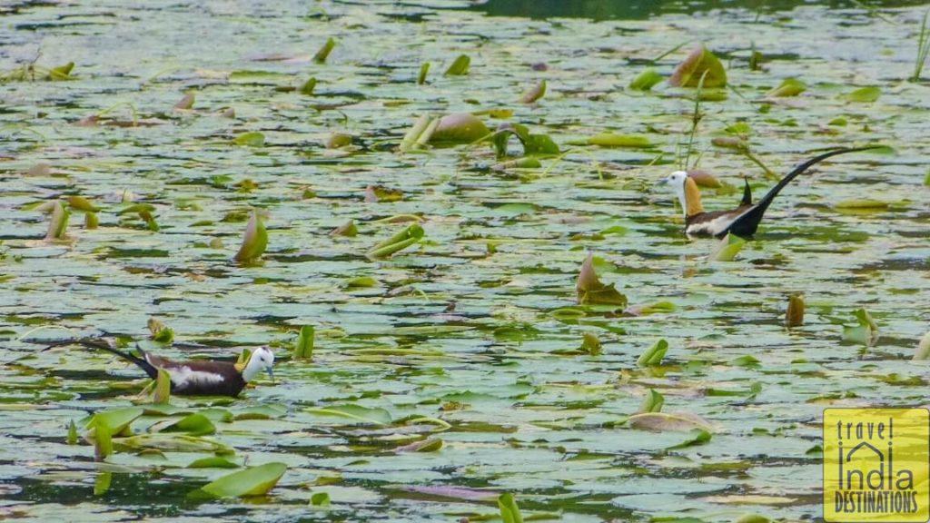 Pheasant Tailed Jacanas