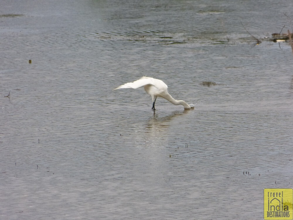 Vasai Little Egret