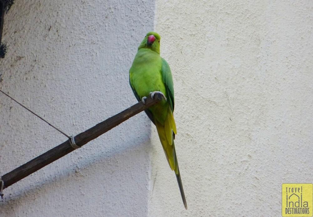 Parrots in Vasai