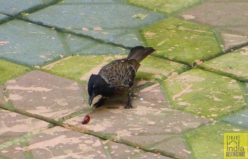 Red Vented Bulbul Foraging