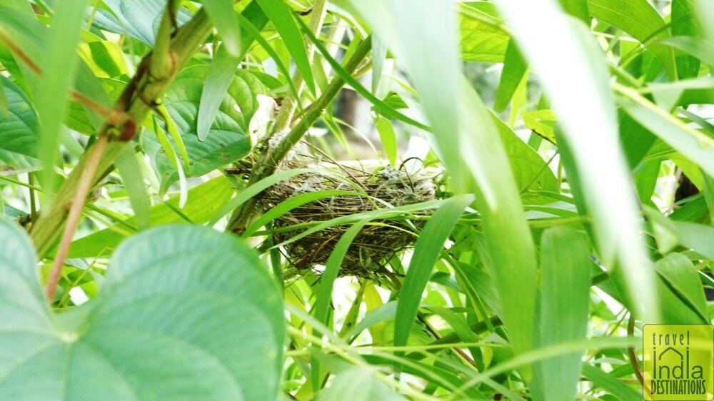 Red Vented Bulbul Nest