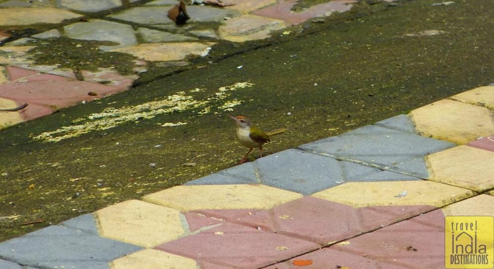 Tailorbird in Vasai
