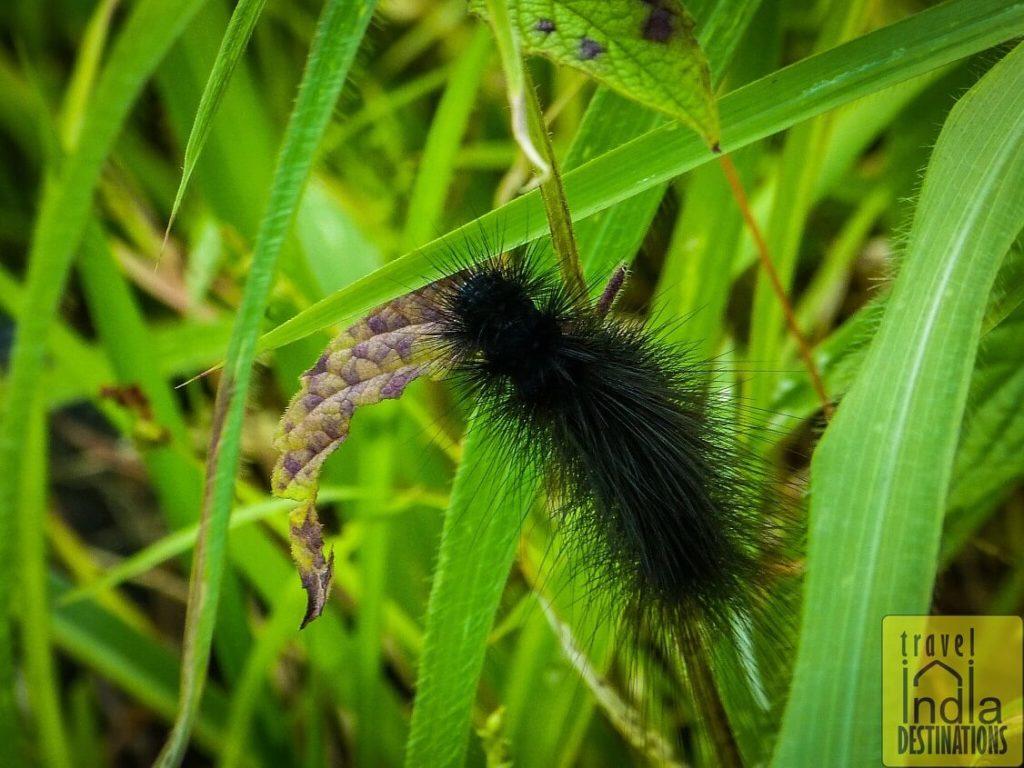 Hairy Black Caterpillar