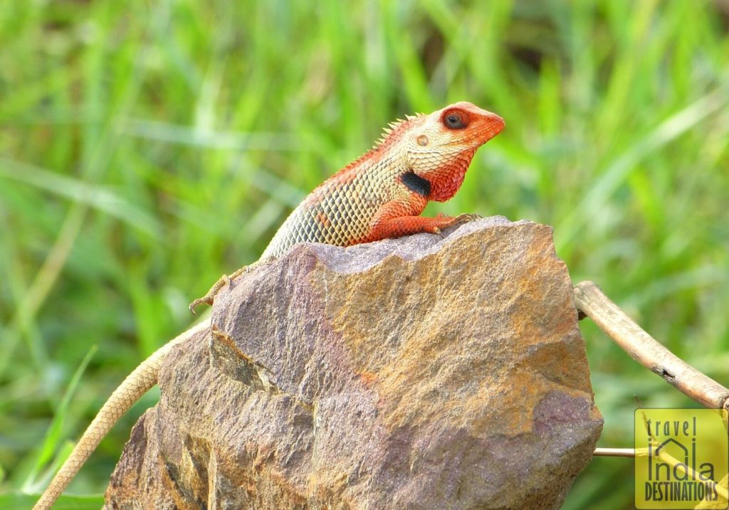 Oriental Garden Lizard Male During Breeding Season