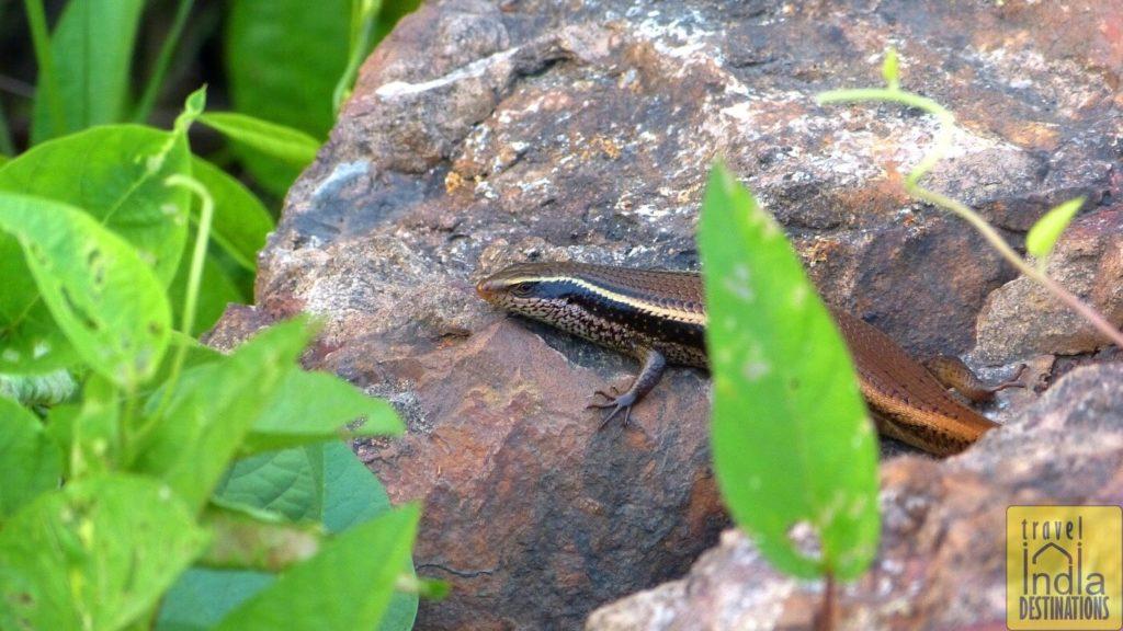 Skink Lizard India