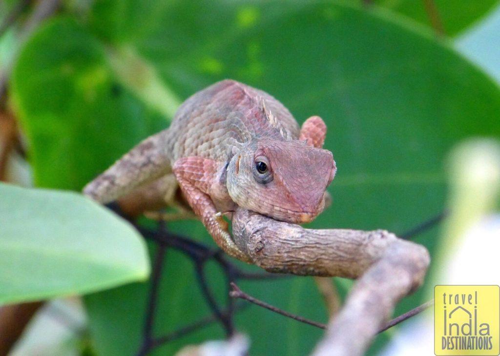 Young Oriental Garden Lizard